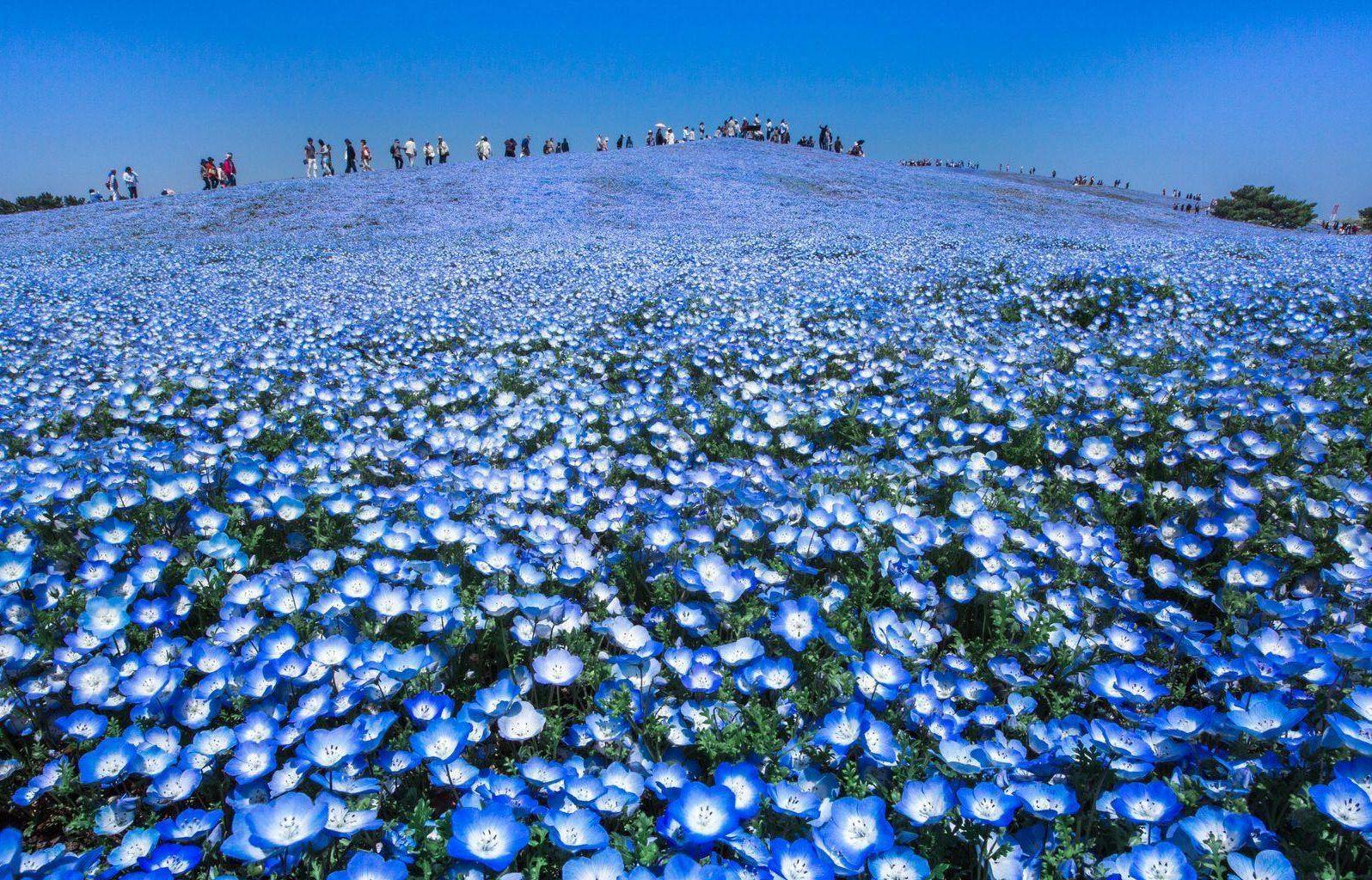 Синие цветы с названиями - Фото цветов 82